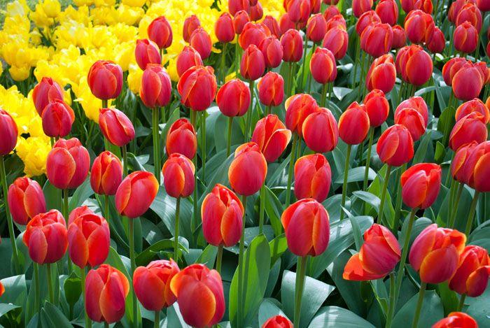 flores tulipas de amsterdã